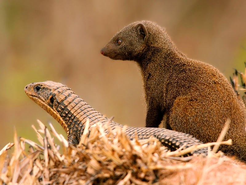 Coffee, Lizards and a Mongoose