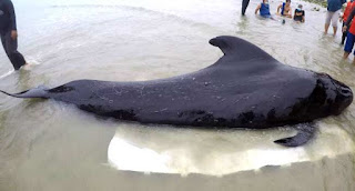 Whale found  Dies In the shores of  Thailand