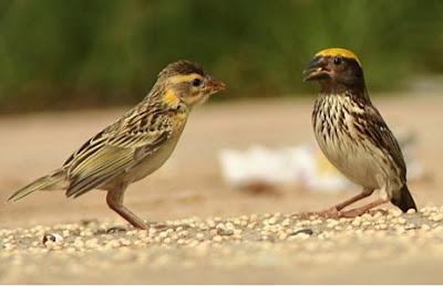 Foto Burung Manyar Jantan Betina Harga Manyar Terbaru