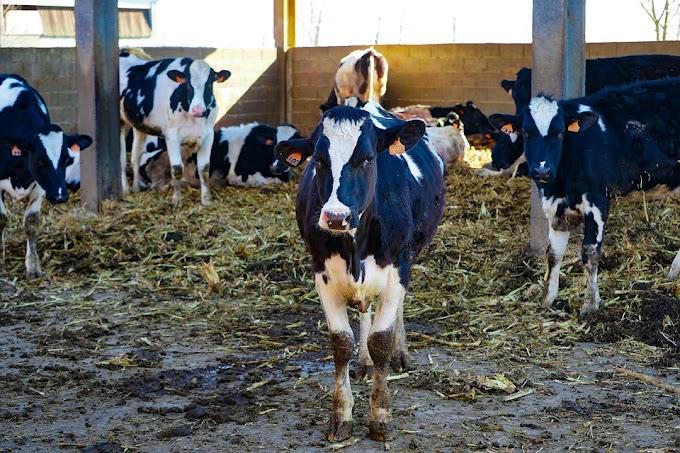 Caldo, Coldiretti: animali stressati, da mucche -10% di latte
