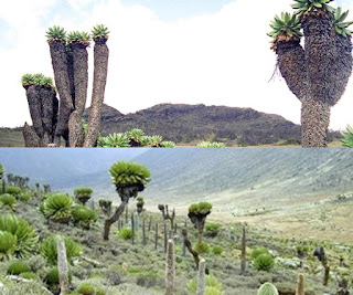 Tanaman di gunung Giant Groundsels