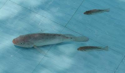 Ikan Nila kolam