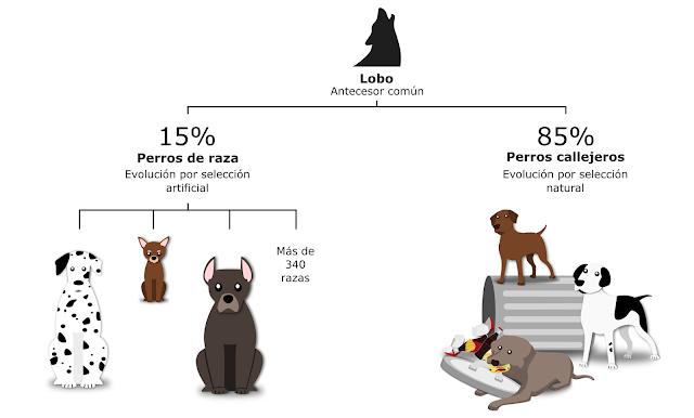 cães descendência de lobos