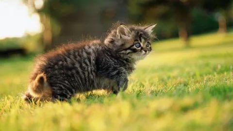 Kitten Desexing