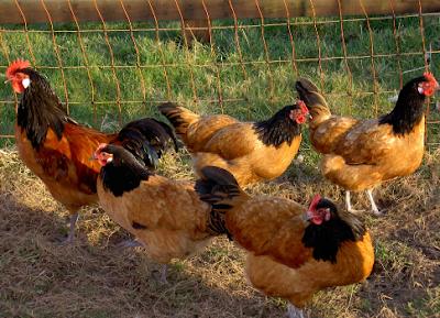 Ras Ayam Vorwerk