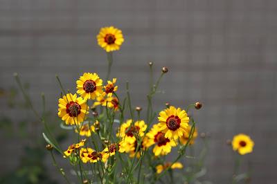Flores de Coreopsis tinctoria do meu jardim