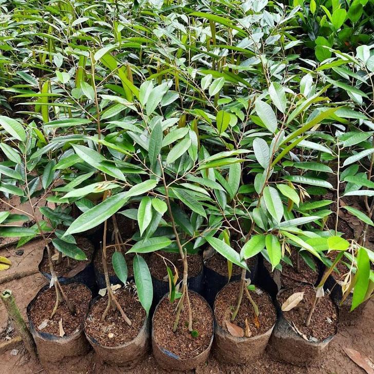 bibit durian duri hitam ochee kaki 3 cepat berbuah Tual