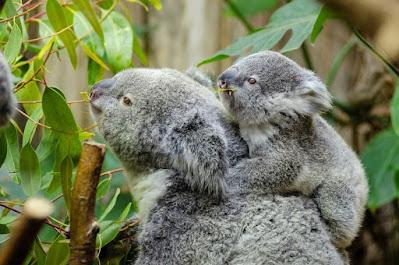 Koala at Royal Botanical Garden Australia