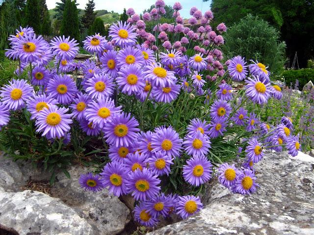 Há ásteres de muitas cores e formas, ficam bem em floreiras, vasos e jardins. São plantas que vivem três ou mais anos.
