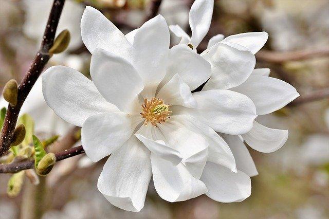 hoa moc lan trang