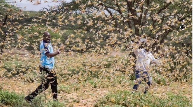 El brote de langosta africana regresa; Segunda ola aproximadamente 20 veces más grande
