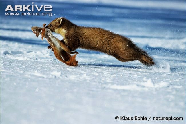 Marten and Squirrel