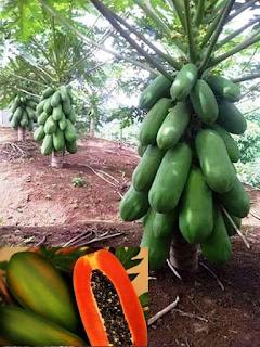 calina papaya IPB9 pawpaw kenya