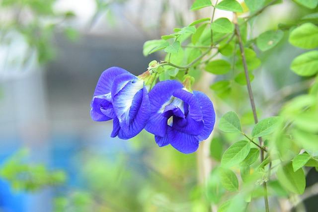 Butterfly pea flower side effects