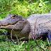 Arrestan a dos hombres en Florida por intentar emborrachar a un caimán