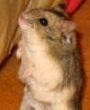 ciri-ciri hamster campbell