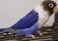 Jenis Dari Burung Lovebird Violet