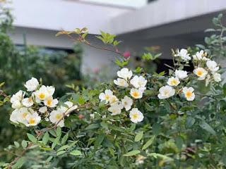 một loại hoa hồng ngoại khá giống với tầm xuân rừng