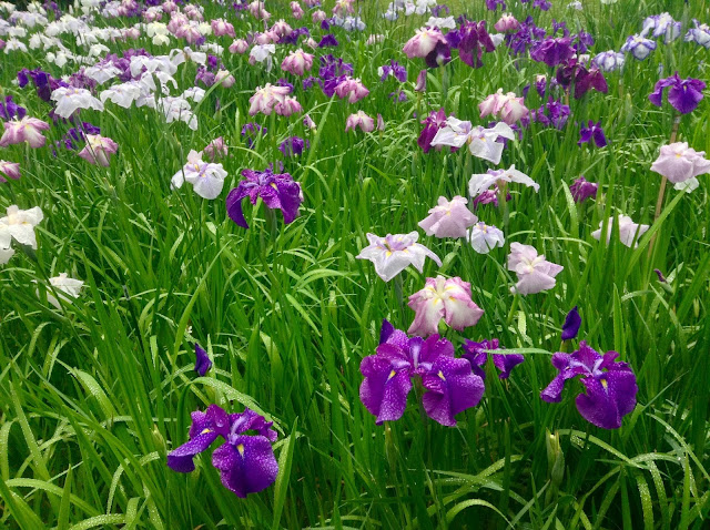 Meigetsuin iris