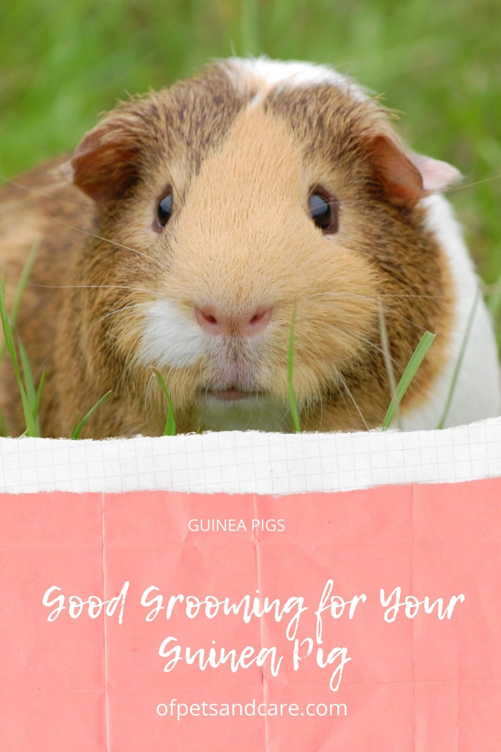 Good Grooming for Your Guinea Pig