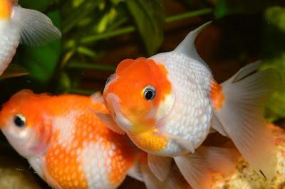 Ikan mas koki,ikan hias air tawar