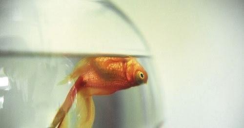 Cara Mengatasi Ikan Yang Sekarat Dengan Tepat Ikanesia Id