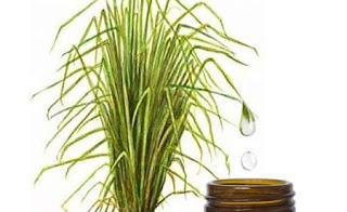 aceite esencial de vetiver