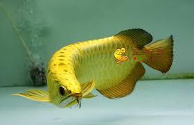 Bagian Punggung Ikan Arwana Bersih