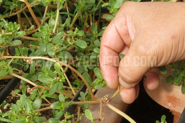 Cosechar Verdolaga para hacer el Extracto debemos seleccionar las mejores parte de la plantas