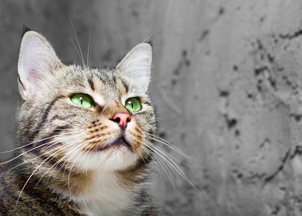 تعتمد القطط على قرون الاستشعار(الشوارب) بشكل كبير