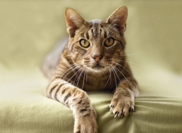 Ocicat - All You Want To Know About Ocicat