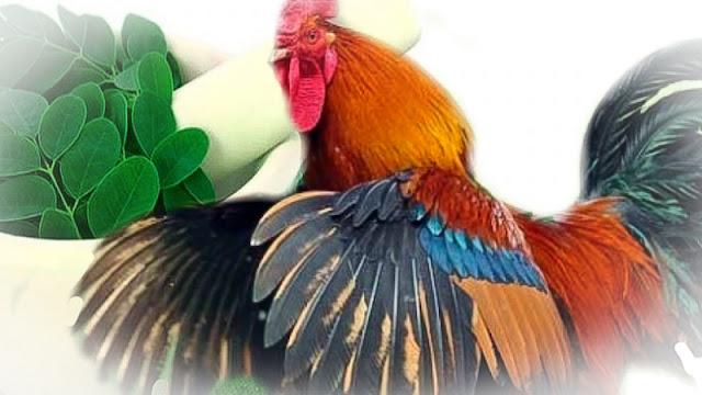 Manfaat Daun Kelor Bagi Ayam