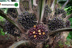 Dosis Supernasa Granule & Power Nutrition Untuk Sawit Agar Buah Besar