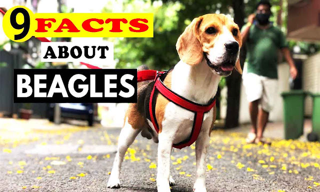 9 Facts About Beagles You Didn't Know