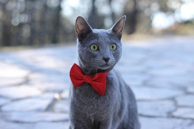 القط الروسي الأزرق: Russian Blue