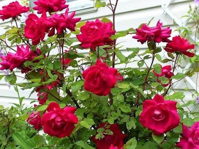 Khasiat Bunga Mawar Untuk Mengobati Batuk Darah Campak Haid Tidak Teratur Keputihan