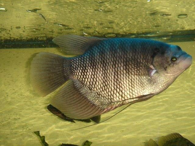 Pusat Supplier Jual Ikan Gurame Bibit & Konsumsi Padang, Sumatera Barat