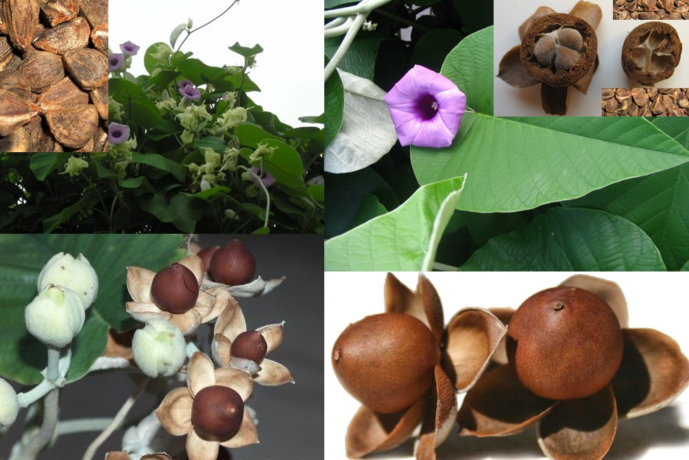 All about Ayurveda and Herbs: Vidhara (Argyreia nervosa)