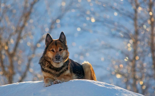 snow german shepherd wallpaper