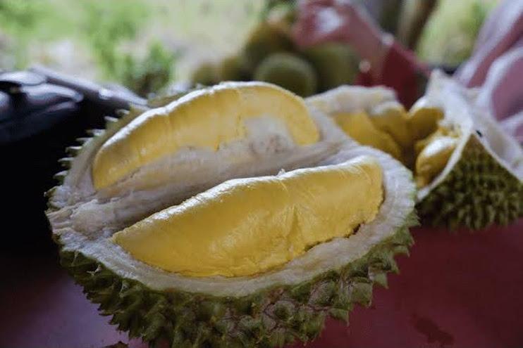 Bibit Durian Bawor Kaki 3 Genjah Okulasi Berkualitas Salatiga