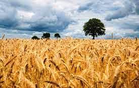 یکم اپریل سے پنجاپ بھر میں گندم کی خریداری کے لیے باردانے کی تقسیم شروع کرنے کا اعلان۔