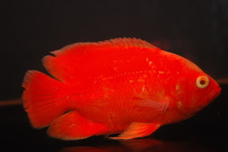 Harga Ikan Oscar Full Red