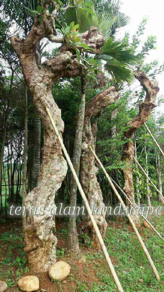 Teras Alam Pohon Kamboja Fosil Pohon Kamboja Batang