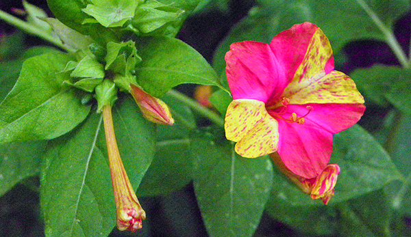 a half solid magenta, half variegated yellow blossom