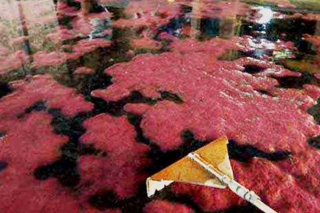 Langkah - langkah untuk budidaya cacing sutra di Kolam terpal