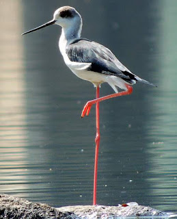 Black-winged stilt - Himantopus himantopus