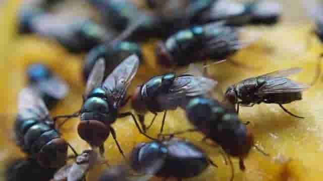 Cara Alami Mengusir Lalat Dari Rumah