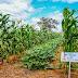 Tecnologia brasileira e supersafra de milho
