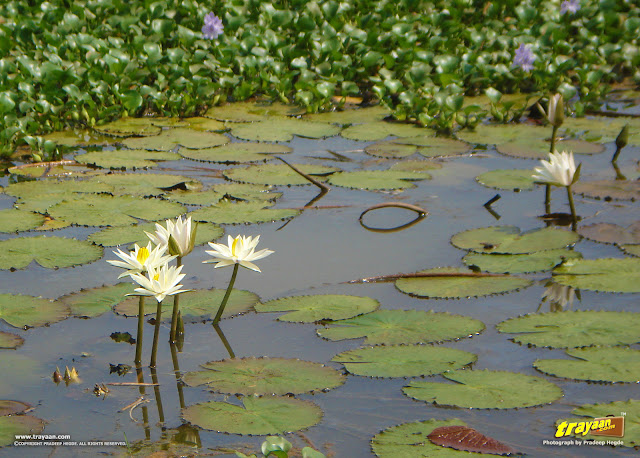 Water Lilies, and in the background, Water Hyacinths bearing purple flowers