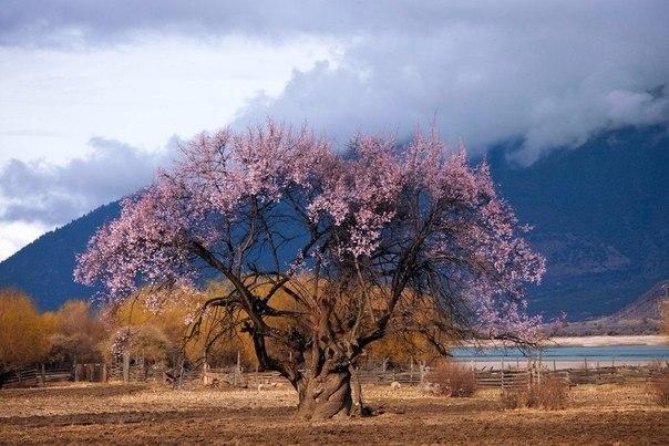 Tibet beautiful pink nature